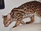 Фотография в   Продается азиатский леопардовый кот (АЛК). в Москве 150000