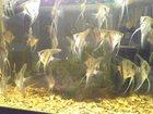 Фотография в Рыбки (Аквариумистика) Аквариумные рыбки Продам подростков скалярии перуанский альтум, в Москве 100