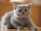 Фото в Кошки и котята Продажа кошек и котят Продаются элитные британские котики шоколадного в Москве 6000