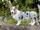 Изображение в Собаки и щенки Продажа собак, щенков Предлагаем Вашему вниманию подрощенного красивого, в Москве 0