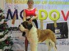 Фото в Собаки и щенки Продажа собак, щенков Предлагаем дш щенков сенбернара от высокопородных в Москве 0