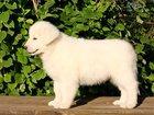 Фото в Собаки и щенки Продажа собак, щенков 22 июня 2015 года, в нашем питомнике родились в Москве 50000