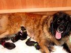Фото в Собаки и щенки Продажа собак, щенков В питомнике родились щенки леонбергера от в Москве 50000