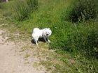 Фото в Собаки и щенки Вязка собак Немецкий средний шпиц 1, 5 годика, ищет девочку в Зеленограде 0