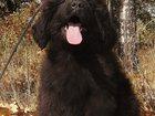 Фотография в   Продаются щенки Ньюфаундленда! Очень красивые в Москве 15000