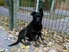 Фотография в Собаки и щенки Продажа собак, щенков Продаются щенки немецкой овчарки рабочих в Москве 30000