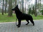 Изображение в Собаки и щенки Продажа собак, щенков Предлагается для вязок чёрный кобель немецкой в Москве 25000