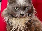 Фотография в Кошки и котята Продажа кошек и котят Здравствуйте, меня зовут Нибелунг, я уже в Москве 0
