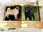 Фотография в Собаки и щенки Продажа собак, щенков Питомник Ченати Хани Хоуп предлагает замечательных в Москве 50000
