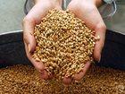 Фотография в   Продам фуражную пшеницу, поставка оптовая, в Москве 0