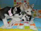 Фото в Собаки и щенки Продажа собак, щенков Голубоглазые Хасята. Свободных осталось трое: в Твери 15000