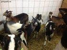 Просмотреть foto  Купить Англо-нубийские козы можно у нас, Продам Нубийцев 34358362 в Москве