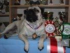 Фотография в Собаки и щенки Вязка собак Шикарный мопс-чемпион РКФ, ждет в гости красивую в Москве 10000