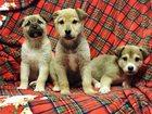 Свежее фотографию  Очаровательные щеночки-девочки в дар! 34459499 в Москве