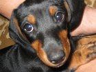 Фото в Собаки и щенки Продажа собак, щенков Отдам молоденькую таксу в добрые и заботливые в Москве 0