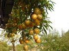 Фотография в Домашние животные Растения Продаю саженцы пепино - дынная груша (цена в Москве 0