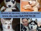 Изображение в Собаки и щенки Продажа собак, щенков С нас хороший выбор чистокровных малышей в Москве 0