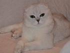 Изображение в Кошки и котята Вязка Шотландский короткошерстный вислоухий (скоттиш в Москве 2000