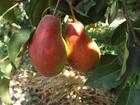 Просмотреть фото  ТПО Садовые Традиции предлагает саженцы плодовых, ягодных и декоративных культур 36611084 в Бахчисарай