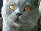 Фото в Кошки и котята Вязка Предлагаю вязку с опытным и красивым скоттиш в Москве 2000