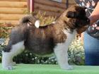 Фото в   Продам щенков Американской Акиты, рождены в Новосибирске 50000