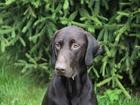 Изображение в Собаки и щенки Вязка собак кобель из Питера. рфс есть, хожу с ним по в Москве 10000