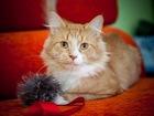 Фото в   Кто давно мечтал о таком рыжем котище? Признавайтесь! в Москве 0