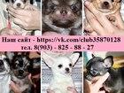 Фото в Собаки и щенки Продажа собак, щенков Продам чистокровные щеночков Чихуа-хуа! ! в Москве 10000