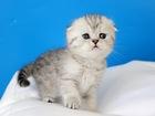 Фото в Кошки и котята Продажа кошек и котят Решили купить британского или вислоухого в Москве 20000