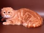 Фото в Кошки и котята Вязка Предлагаем для вязки-Шотландского вислоухого в Москве 2000