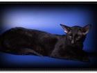 Изображение в Кошки и котята Вязка Предлагаем для вязки –Ориентального клубного в Москве 3000
