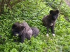 Изображение в   Американская акита щенки  Щенки родились в Москве 21000