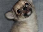 Изображение в Собаки и щенки Продажа собак, щенков Палевый мальчик, смелый, контактный, веселый, в Москве 15000