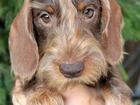 Фото в Собаки и щенки Продажа собак, щенков Предлагаем щенков таксы жесткошерстной карликовой в Москве 20000