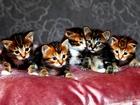 Фото в Кошки и котята Продажа кошек и котят Котята курильского бобтейла. Один мальчик, в Москве 20000