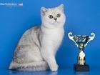Фото в   Клубный британский кот шиншиллового окраса в Москве 5000