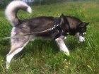 Фото в Собаки и щенки Вязка собак Отличный, молодой, умный, энергичный, воспитанный в Москве 0