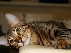 Фото в   Продаются котята саванна ф4. Шоу класса. в Москве 70000