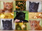 Изображение в Кошки и котята Продажа кошек и котят Племенной фелинологический питомник  ADAMAND-COON в Москве 35000