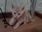 Фотография в Кошки и котята Продажа кошек и котят Недорого продаются ШОТЛАНДСКИЕ прямо и вислоухие в Москве 10000