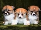 Фото в Собаки и щенки Продажа собак, щенков Питомник вельш корги пемброк Свежий Ветер в Москве 60000