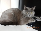 Изображение в Кошки и котята Вязка Красавец кот 2 года полубританец ищет по в Москве 1000