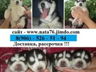 Изображение в Собаки и щенки Продажа собак, щенков Продаются разноглазые и голубоглазые малыши в Москве 0