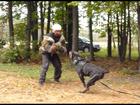 Свежее фотографию Вязка собак Роскошный титулованный кобель Кане корсо серого окраса, Для вязки 38226420 в Москве