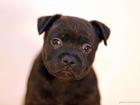 Изображение в Собаки и щенки Продажа собак, щенков Предлагаем Вашему вниманию щенков Стаффордширского в Москве 45000