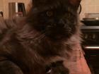 Фотография в   Красивый кот ищет невесту, окрас черный  в Москве 3000