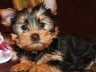 Изображение в Собаки и щенки Продажа собак, щенков Готовы к продаже 2 породистые девочки йоркширского в Москве 35000