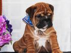 Фото в Собаки и щенки Продажа собак, щенков Мальчишки Английского бульдога рыжего, палевого, в Москве 30000