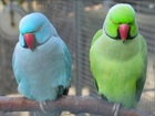 Фото в   Продаю ожереловых попугаев из питомника различного в Москве 9000
