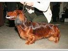 Просмотреть фотографию Вязка собак такса вязка кобели таксы для вязок 38308998 в Москве